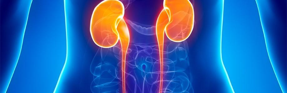 Женские половые гормоны могут обладать ренопротективным эффектом