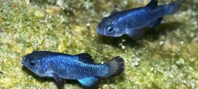 Загрязнение вод оральными контрацептивами угрожает популяции рыб