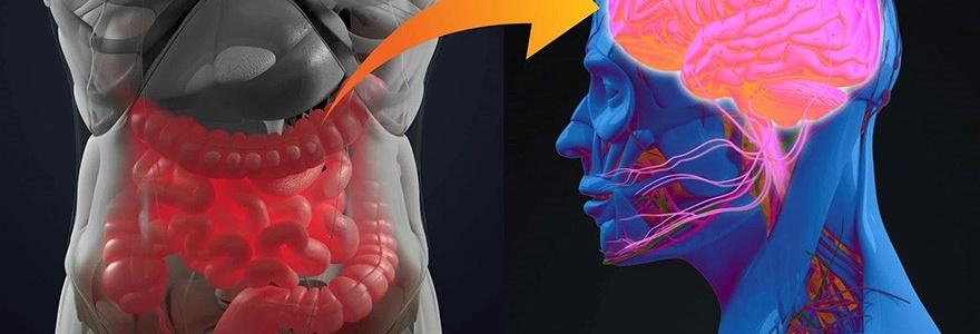 Орексин А обеспечивает взаимодействие между кишечником и мозгом